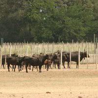 Vache camargue