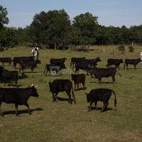 La manade de taureaux du mas